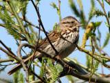 Song Sparrow 12a.jpg