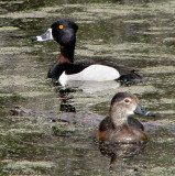 Ring-necked Duck pair 1a.jpg