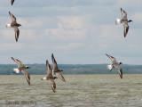 Black-bellied Plovers in flight 2a.jpg