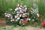 Prairie Rose and Sand Dock 1a.jpg