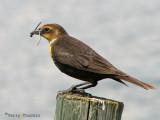 Yellow-headed Blackbird female with damselflies 1a.jpg