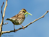 Savannah Sparrow with caterpillars 1a.jpg