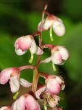 Pink Wintergreen 1a.jpg