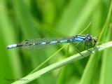 Enallagma ebrium - Marsh Bluet 2a.jpg