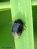 Sehirus cinctus - Burrower Bug 8a.jpg