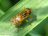 Parhelophilus sp. - Flower Fly N1a.jpg