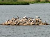 Rock island with gulls at Murray Marsh 1a.jpg