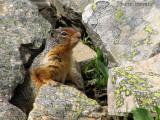 Columbian Ground Squirrel 1a.jpg