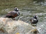 Harlequin Ducks males 4a.jpg