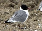 Franklins Gull adult 1a.jpg