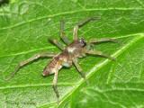 Clubiona sp. - Sac spider A3a.jpg