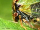 Treehopper head macro 2a.jpg