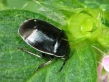 Burrower Bugs - Cydnidae