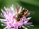 Lejops sp. - Flower Fly B1a.jpg
