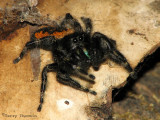 Phidippus borealis - Boreal Jumping Spider female 2a.jpg