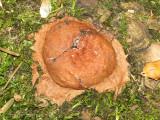 Slime mold aethalium A1.JPG