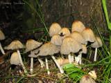 Coprinus truncorum - Tree Coprinus 1.JPG