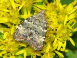 Metalmark Moths - Choreutidae
