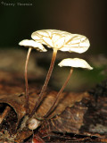 Marasmius epiphyllus - White Pinwheel 10a.jpg
