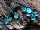 Chlorociboria aeruginascens - Blue Stain Fungus 6a.jpg