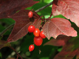 High Bush Cranberry 2a.jpg