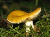 Russula claroflava - Yellow Swamp Russula 2.JPG
