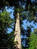 Cathedral Grove biggest tree Douglas Fir 1.JPG
