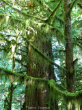 Cathedral Grove mossy branches 1.JPG