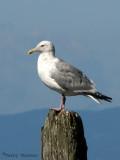 Herring Gull 7a.jpg