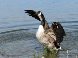 Canada Goose wing flapping 5a.jpg
