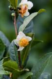Tea Bloom