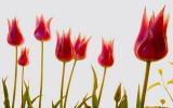 Tulip survival