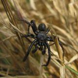 Trapdoor Spiders -- Ctenizidae