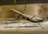 mantis religioso