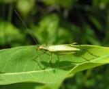 Oecanthus nigricornis - blackhorned tree cricket