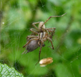funnel web spiders - mating - 1