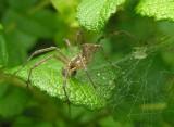 funnel web spider - male