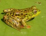 Rana septentrionalis - Mink frog