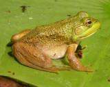 Rana catesbeiana - Bull frog - juvenile