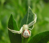 Crab Spiders - Thomisidae