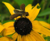 bee fly with abdomen like leafcutter bee - 1
