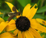 bee fly with abdomen like leafcutter bee - 2