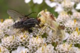 phymata and fly prey