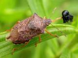 Stinkbug with Trirhabda larva prey - view 2