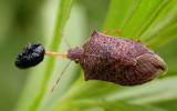 Stinkbug with Trirhabda larva prey - view 3