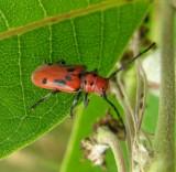 Eastern Milkweed Longhorn beetle -- Tetraopes tetraophthalmus