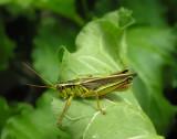 Two-striped - Melanoplus bivittatus - male
