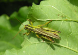 grasshopper on leaf - top view