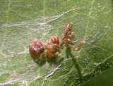 Spider exuviae - probably from jumping spider