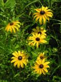 Rudbeckia hirta - Black-eyed Susan